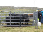 Pedigree Aberdeen Angus cattle, MacDonald, Carloway House
