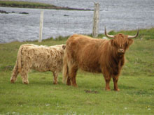 Sold at Dingwall & Highland Marts Ltd, October 2009, to the Scourie Fold, Sutherland