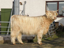 Dingwall & Highland Mart Highland Record Breaker, 19 month old heifer Canach an Eilein of Brue sold to Scourie, Sutherland, October 2009