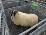 Reserve Sheep Champion of Lewis & Harris Shows, Don MacLeod, Point