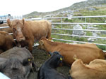 North Harris cattle