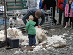 Sheep shearer Colin Chisholm at work with apprentice!