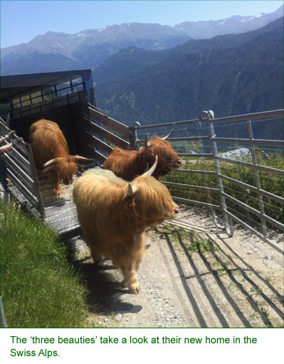 The 'three beauties' take a look at their new home in the Swiss Alps