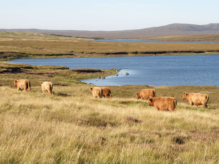 Young Highland stock on Àrd Mhòr Grazing, Brue, Isle of Lewis, August 2014