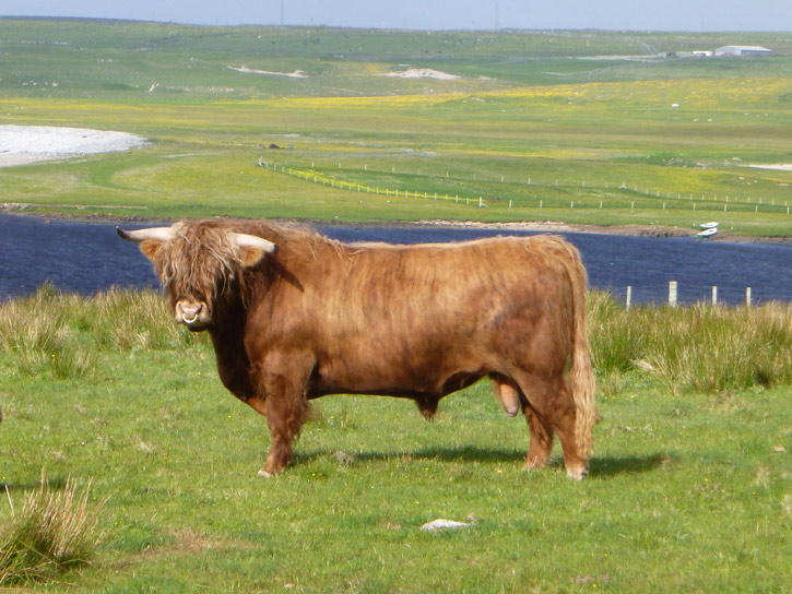 Rob Ruadh of Gartchonzie (6 year old bull)