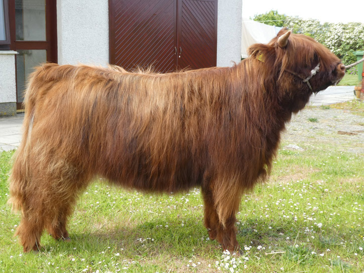 Una a' Ghlinne 3rd of Brue (yearling heifer)