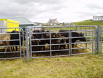 Cattle belonging to MacDonald, Carloway House