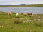 Cows and calves on summer grazing at Loch Urraghag