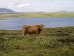 'Piobaire Ruadh of Dunvegan' on Caiseal grazing