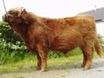 Yearling bull Crusoe of Brue
