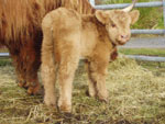 Day old heifer calf 'Seonag of Tom Buidhe'