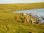 Cows & calves heading for Ardmhor grazing, Brue