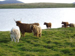 Cows & calves beside Loch Urraghag, Brue