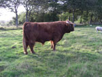 30 month old bull, 'Crusoe of Brue' at Allanfearn Fold, Strathpeffer