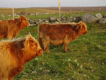 Brue calves in evening sun