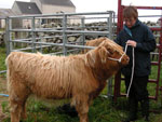 Halter training starts for heifer calf, 'Morag a' Ghlinne of Brue'
