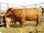 Best cow, Una of Borve with her heifer calf Magaidh a' Ghlinne of Brue
