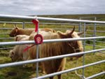Supreme Cattle Champion, Seonaid 3rd of Crossnish