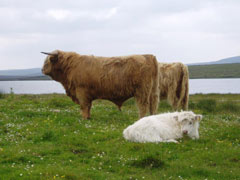 Pìobaire Ruadh of Dunvegan age 28 months and one of his first calves Ceit an Eilein of Brue, July 2006