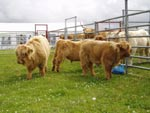 Highland calf judging