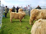Highland Cow judging