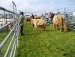 Reserve Cattle Champion Seonaid 3rd of Crossnish on right with her calf